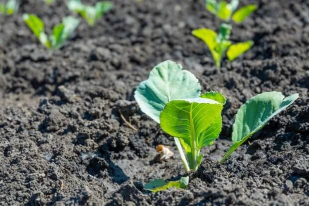 Уход за безрассадной капустой не отличается от ухода за сеянцами капусты, выращенными через рассаду