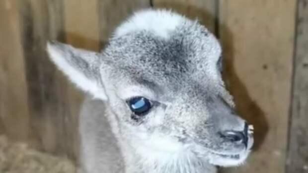 Муфлончик появился на свет в барнаульском зоопарке