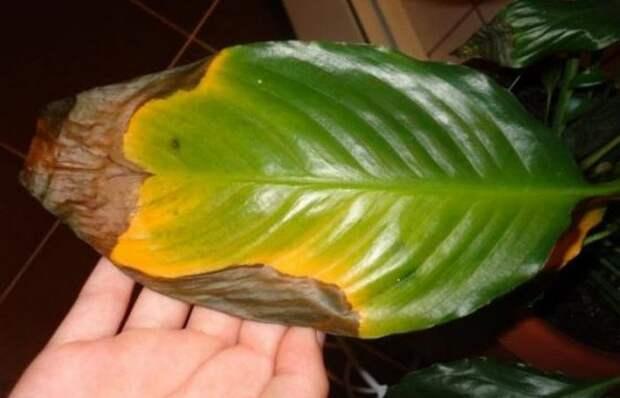 5 причин почернения краев листьев у комнатных растений