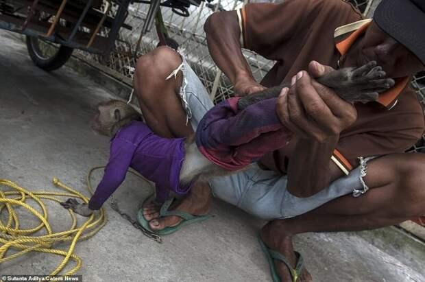 На потеху публике: как обращаются с уличными обезьянками в Индонезии бедные животные, дрессированные мартышки, животные, издевательства над животными, индонезия, обезьяны, уличные артисты, фоторепортаж
