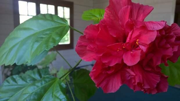 Image result for Китайская роза – цветок смерти