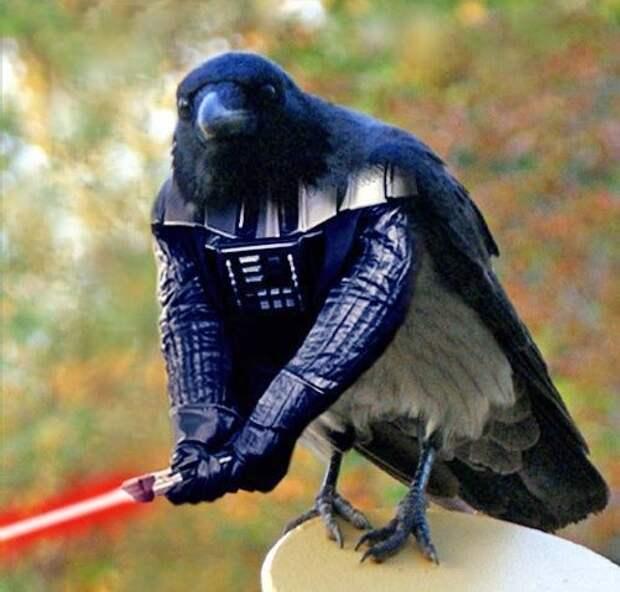 Самый смелый в мире ворон (фото)