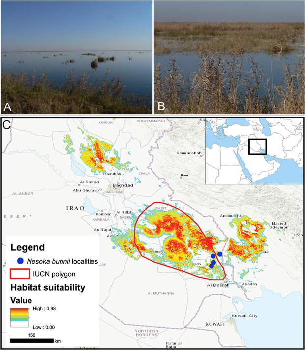 Пострадавшая от режима Саддама земляная крыса вернулась в иракские болота