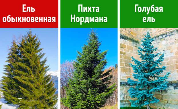 Верные признаки, по которым идеальную елку можно определить за 3 минуты