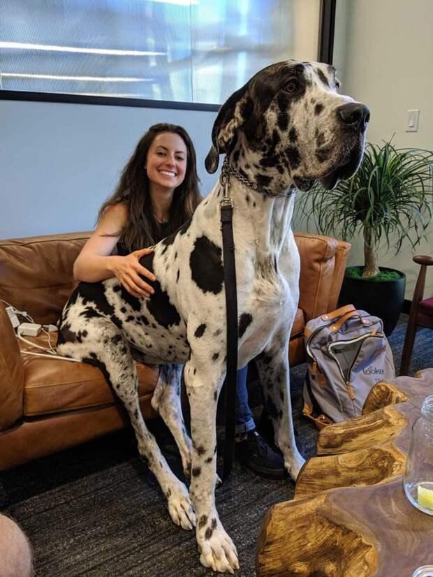 20+ человек, которые хотели завести собаку, а получили гигантского шерстяного волчару