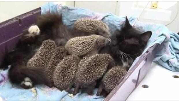 Добрая мамочка: кошка Муся усыновила восьмерых ежат-сирот
