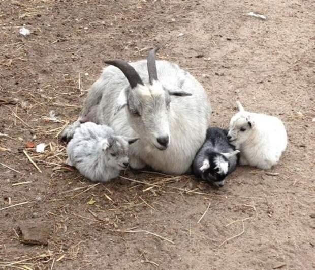 29 фотографий супер очаровательных и непоседливых козлят - 5