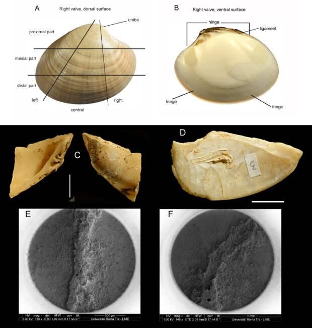 Фотографии раковин, собранных со дна моря и выброшенных на поверхность, сделаны в межведомственной Лаборатории электронной микроскопии университета Рома Тре. /Фото:plos.org