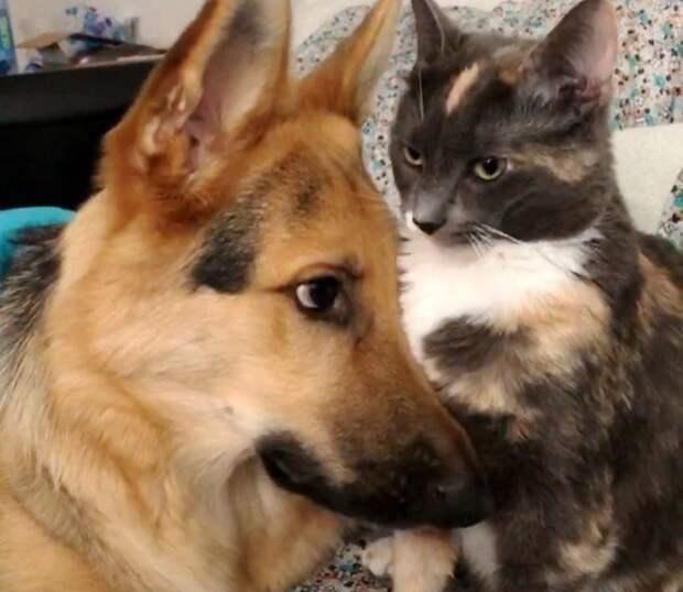 Тем временем, Кода активно подрастал и здорово увеличился в размерах, но любовь к его кошачьей подруге никуда не делась! дружба животных, истории спасения, история спасения, кошки, собаки, спасение животных