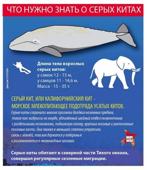 В США крупный серый кит