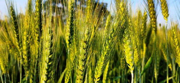 Минсельхоз сохраняет прогноз сбора зерна в РФ в 2021 г в 127,4 млн тонн, пшеницы - 81 млн