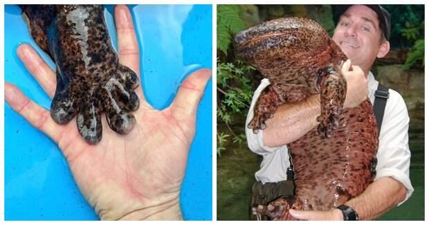 Чудо изАзии: 7 интересных фактов ояпонской исполинской саламандре