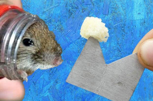 Ловушки для мышей из подручных вещей: собрали за минуты