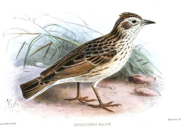 Орнитологи создали резервную популяцию редчайших жаворонков с Кабо-Верде