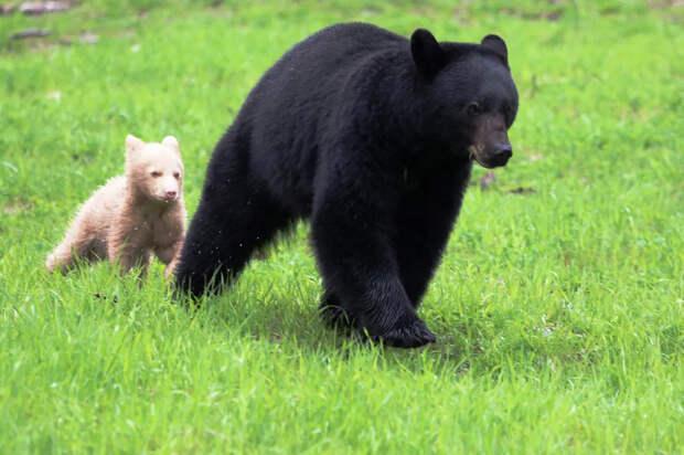 На камчатке заметили медведицу с необычным медвежонком