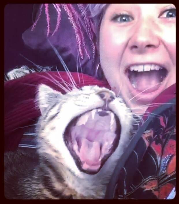 То ли зёв, то ли рёв. Зевающие котики — это страшнее, чем кажется домашние питомцы, животные, зевота, зёв, кошки, милота, рев