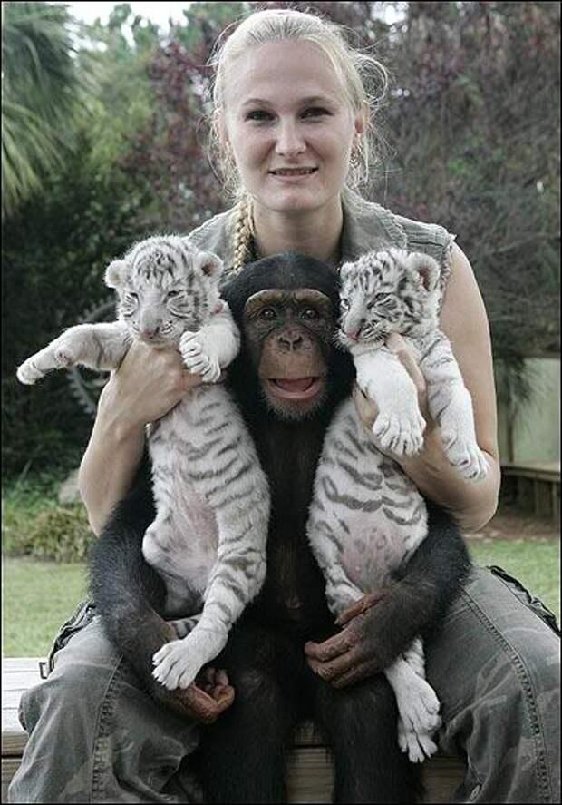 """""""Мама, мы на тебя не похожи, но очень любим""""! Как шимпанзе белых тигрят воспитывала :)"""
