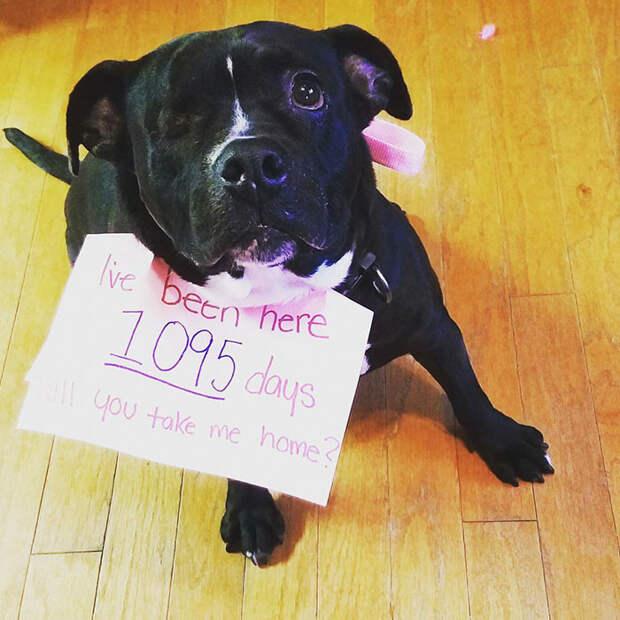 Эту собаку зовут Скарлетт и она провела в приюте три года - больше половины своей жизни питбуль, собака - друг человека, собака - инвалид, спасение животных