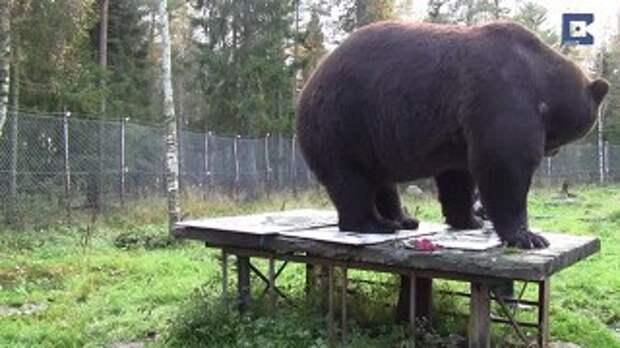 Медведь-живописец