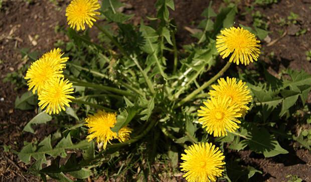 Полезные сорняки: используем во благо урожаю!