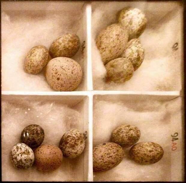 Кукушка — пытка для начинающих познавать эволюцию (7 фото)