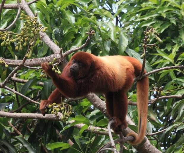 Самый громкий примат