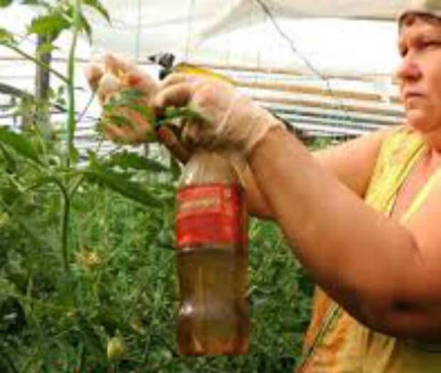 Как правильно опылять помидоры в теплице — зачем проводить опыление, фото, видео