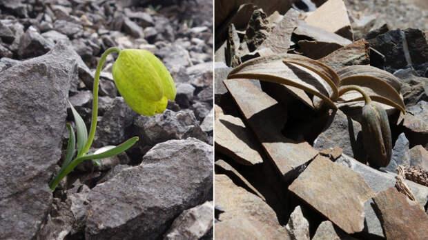 Китайский цветок эволюционировал, чтобы спрятаться от сборщиков растений