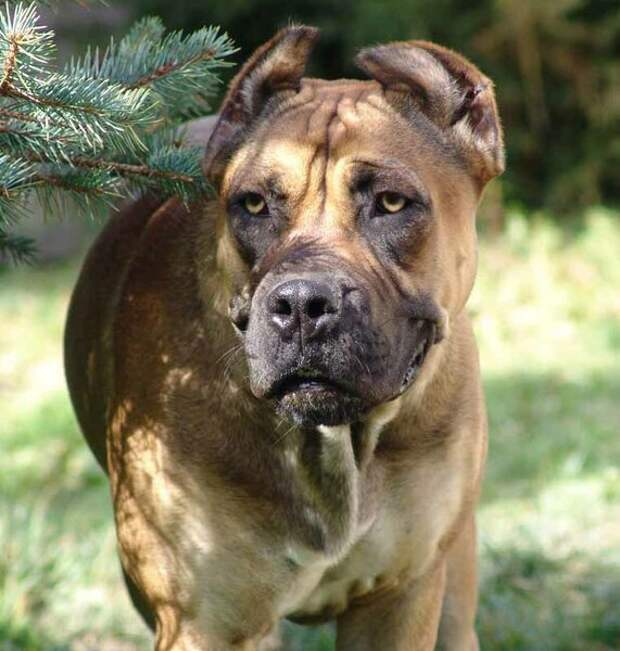 Алано - собака, способная укротить быка