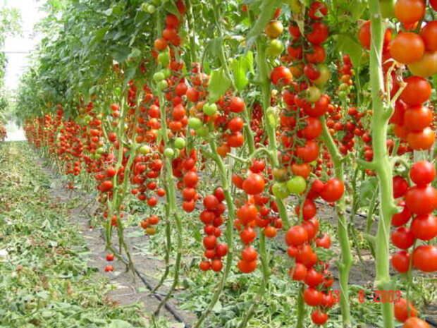 Удаляем пасынки у томатов
