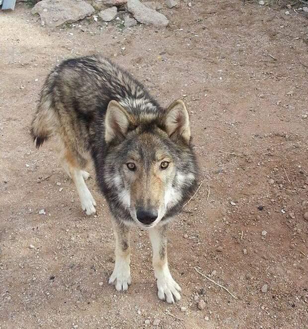 Это типичное волчье поведение. Оказалось, что Неон — собака с большой примесью волка. америка, волк, животное, собака, щенок