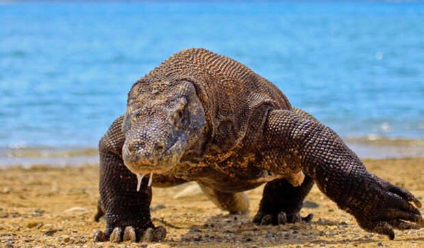 Коммодский варан интересное, рептилии, ящерицы