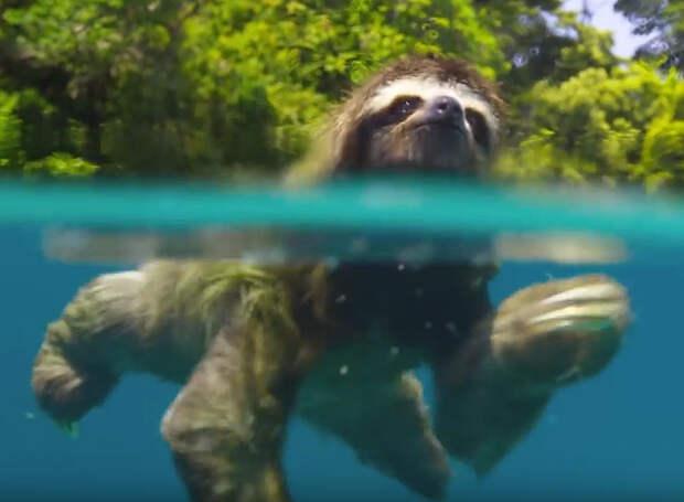 Про любовь: Ленивец плавает вокруг острова в поисках самки