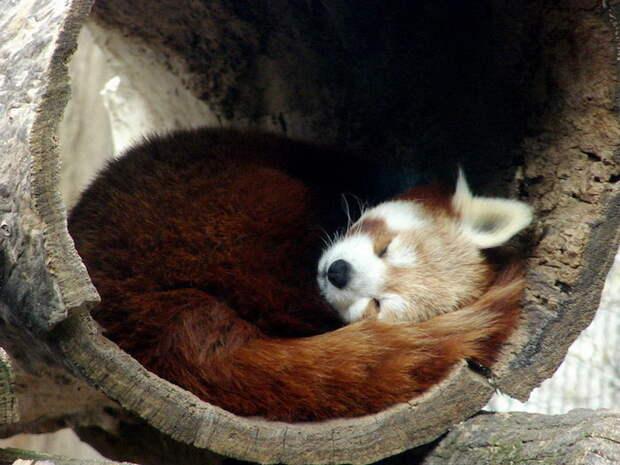 Малые панды — самые милые существа на планете