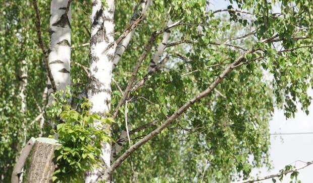 36 деревьев будет вырублено вНижнем Тагиле