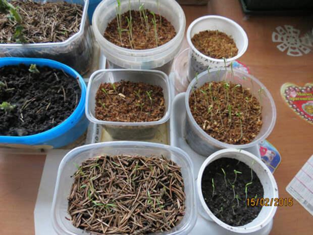Повышаем всхожесть семян домашними средствами