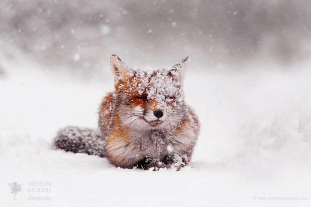 Тёплое рыжее счастье: невероятно милые фотографии лис из заснеженных лесов