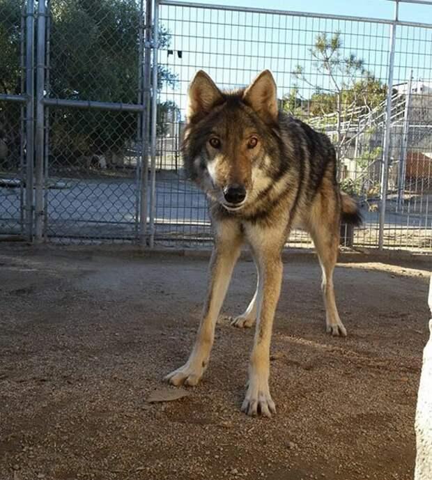 Он выкапывал ямы под забором или перепрыгивал через заграждение, чтобы поиграть с соседскими собаками, и всегда находил способы сбежать. америка, волк, животное, собака, щенок