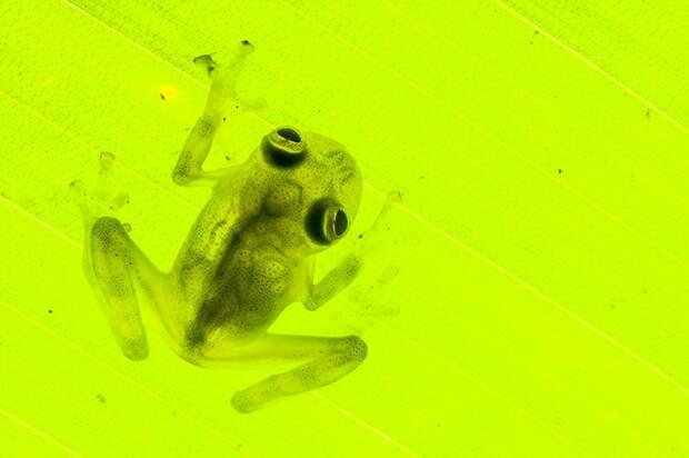 """Лягушки, которых """"воскресили"""" из исчезнувших видов"""