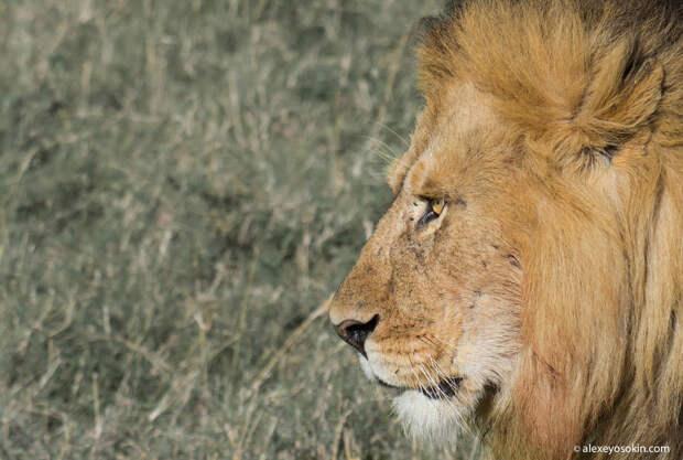 День львов в фотографиях Алексея Осокина