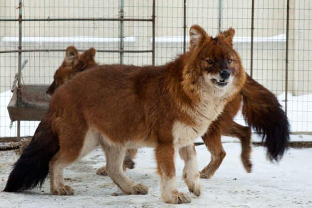 Красный волк животные, красная книга, редкие животные, россия