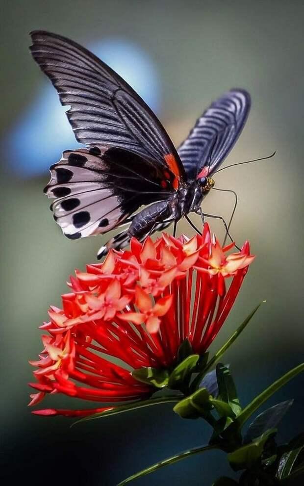 Бабочки-монархи используют лекарственные растения, чтобы лечить от болезней свое потомство. бабочки, интересное, красота, насекомые