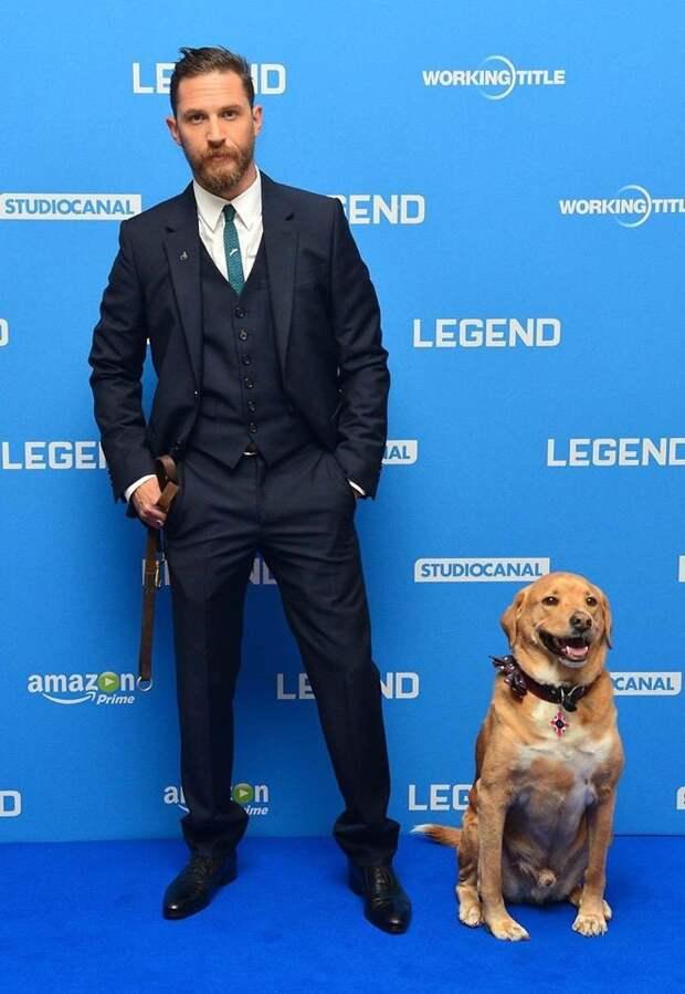 """С Вуди на премьере фильма """"Легенда"""" Том Харди, актер, животные, кино, милота, собака, собаки, фильм"""
