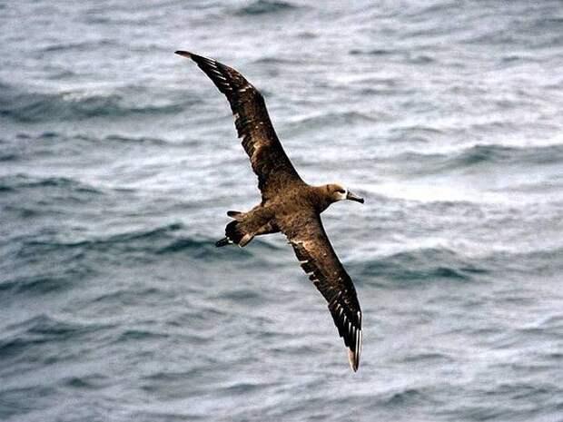 Черноногий альбатрос