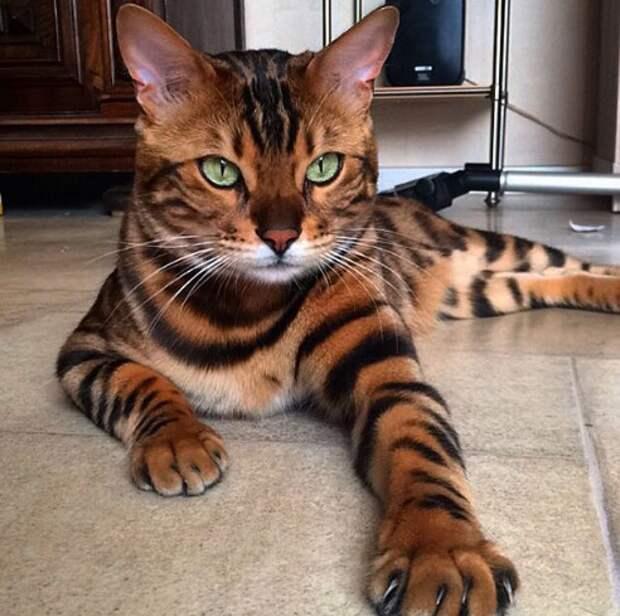 Знакомьтесь: Тор, кот-божество, которому нет равных на всем белом свете!