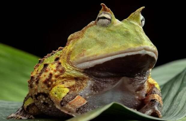 Лягушки глотают еду глазами: участки тела, которые животные применяют не по назначению