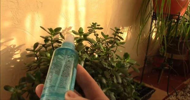 Простое аптечное средство — спасение для комнатных растений в холодную пору