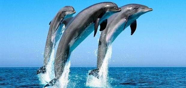 Австралийские дельфины в большинстве своем – наркоманы