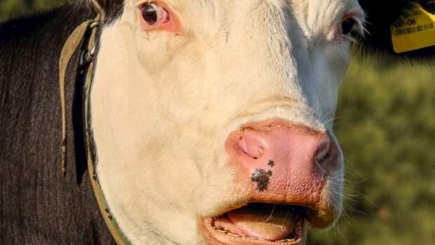 Индийский политик рассказала, как коровы могут помочь в лечении коронавируса