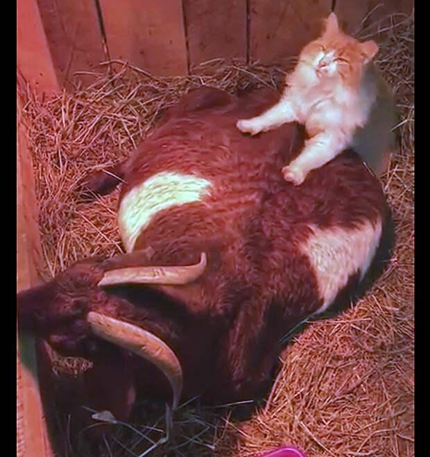 Кот стал акушером для беременной козы